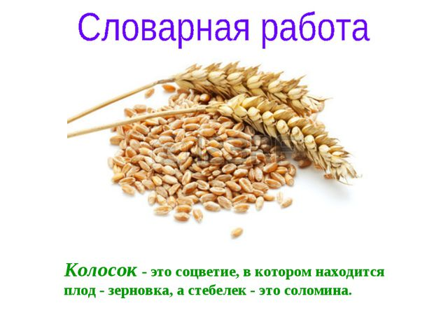 Колосок - это соцветие, в котором находится плод - зерновка, а стебелек - это...