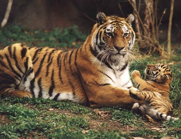 Доклад по окружающему миру на тему Амурский тигр класс