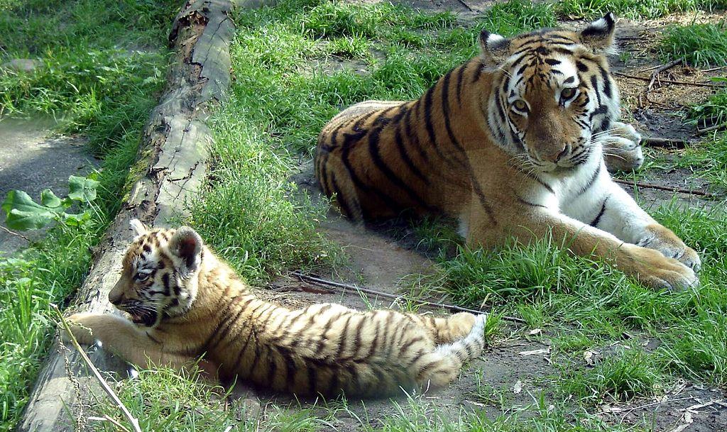 https://upload.wikimedia.org/wikipedia/commons/thumb/4/49/Amersfoort_Zoo_Siberian_Tigers.jpg/1024px-Amersfoort_Zoo_Siberian_Tigers.jpg