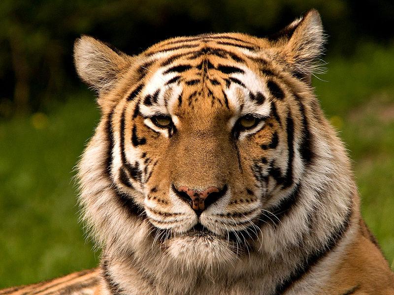https://upload.wikimedia.org/wikipedia/commons/thumb/4/41/Siberischer_tiger_de_edit02.jpg/800px-Siberischer_tiger_de_edit02.jpg