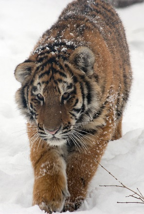 Доклад по окружающему миру на тему Амурский тигр класс   upload org commons thumb