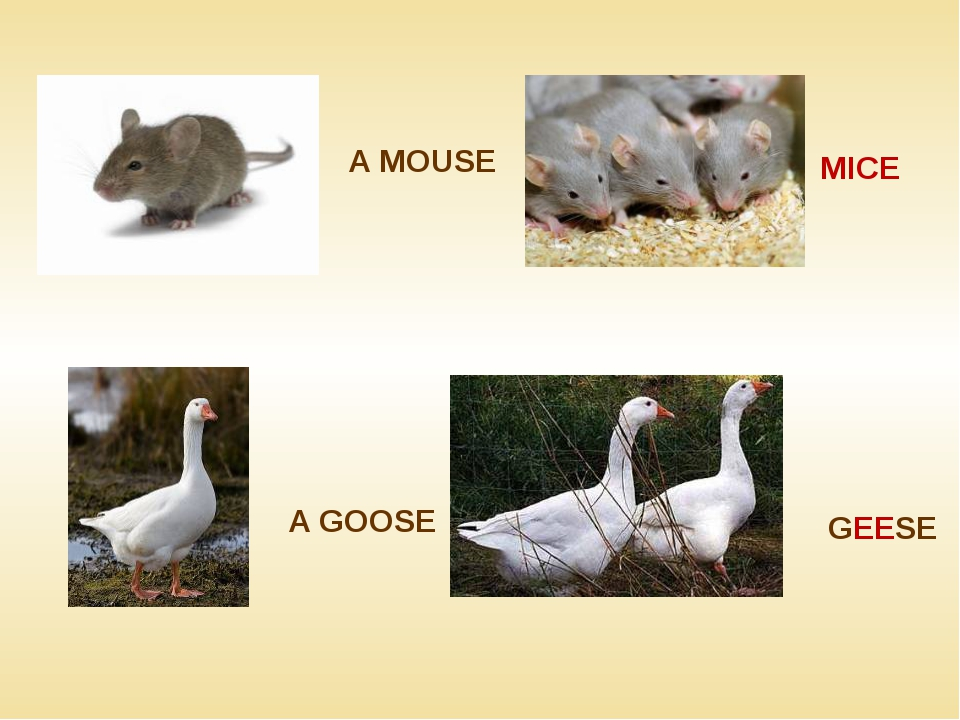 A MOUSE MICE A GOOSE GEESE