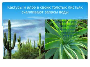 Кактусы и алоэ в своих толстых листьях скапливают запасы воды