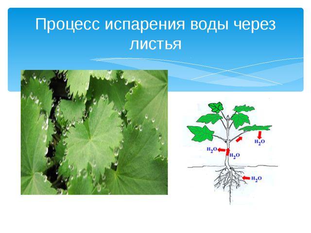 Процесс испарения воды через листья