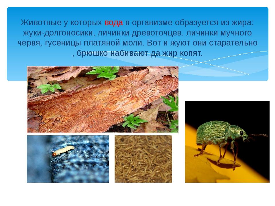 Животные у которых вода в организме образуется из жира: жуки-долгоносики, лич...