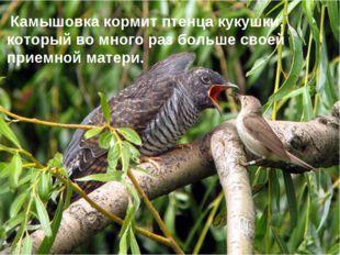 Заголовок слайда Камышовка кормит птенца кукушки, который во много раз больше