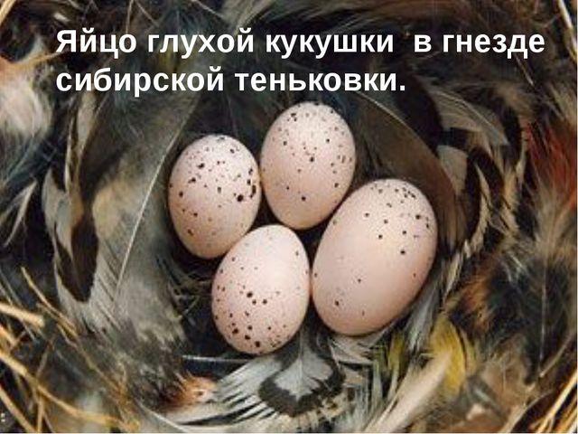 Яйцо глухой кукушки в гнезде сибирской теньковки.
