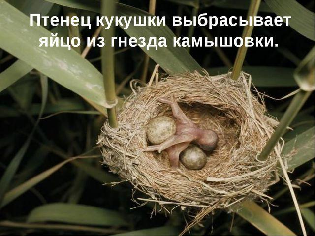 Птенец кукушки выбрасывает яйцо из гнезда камышовки.