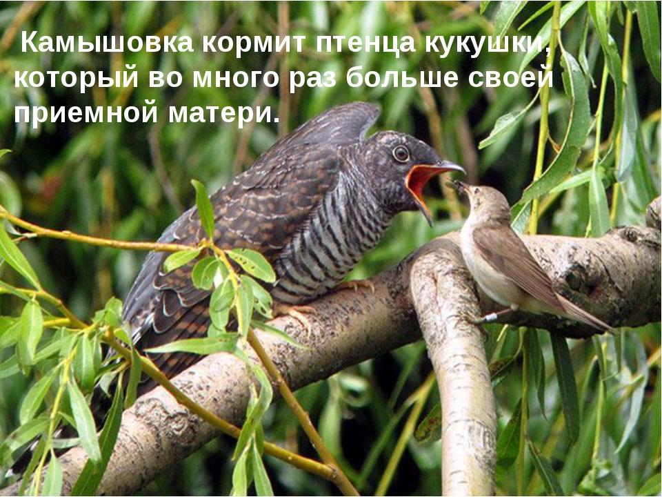 Заголовок слайда Камышовка кормит птенца кукушки, который во много раз больше...