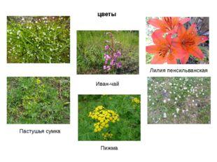 цветы Пастушья сумка Пижма Иван-чай Лилия пенсильванская