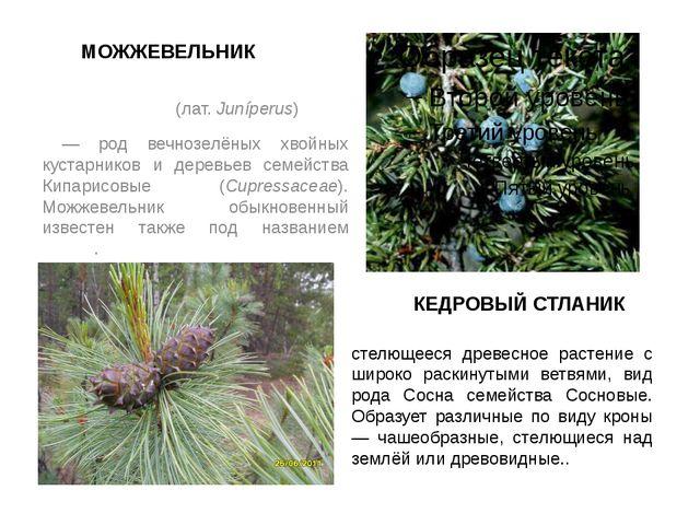 МОЖЖЕВЕЛЬНИК Можжеве́льник (лат. Juníperus) — род вечнозелёных хвойных кустар...