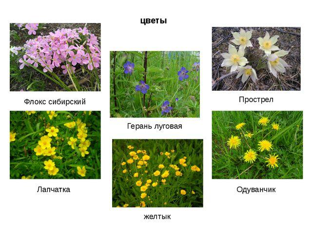 цветы Флокс сибирский Лапчатка Прострел Одуванчик желтык Герань луговая