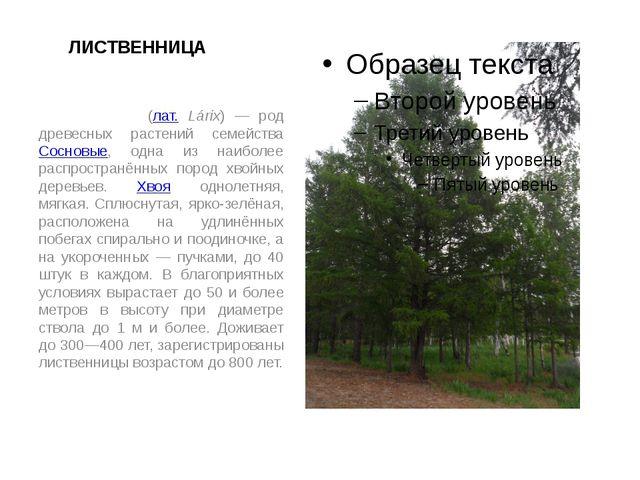 ЛИСТВЕННИЦА Ли́ственница (лат. Lárix) — род древесных растений семейства Сосн...