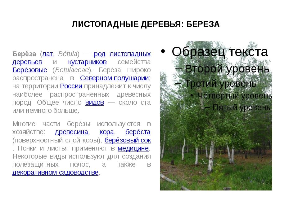 ЛИСТОПАДНЫЕ ДЕРЕВЬЯ: БЕРЕЗА Берёза (лат. Bétula) — род листопадных деревьев и...