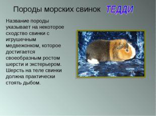 Породы морских свинок Название породы указывает на некоторое сходство свинки