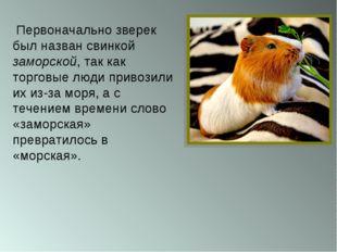 Первоначально зверек был назван свинкой заморской, так как торговые люди при