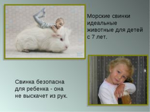 Свинка безопасна для ребенка - она не выскачет из рук. Морские свинки идеальн