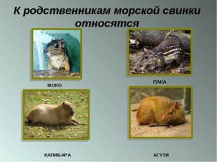 К родственникам морской свинки относятся МОКО ПАКА КАПИБАРА АГУТИ