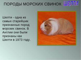 Шелти - одна из самых старейших признанных пород морских свинок. В Англии они