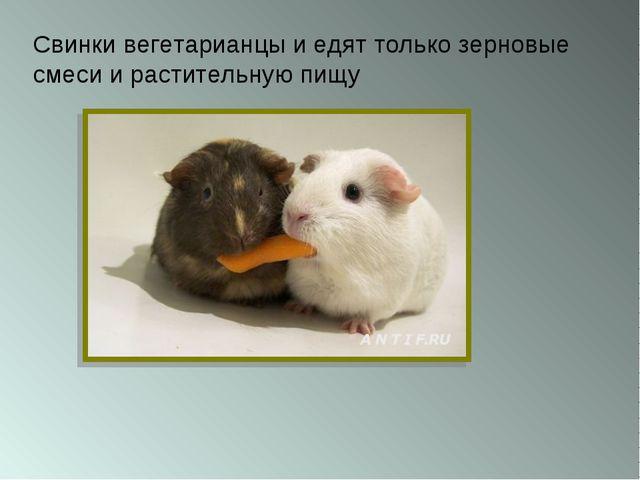 Свинки вегетарианцы и едят только зерновые смеси и растительную пищу