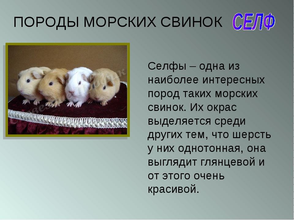 Селфы – одна из наиболее интересных пород таких морских свинок. Их окрас выде...