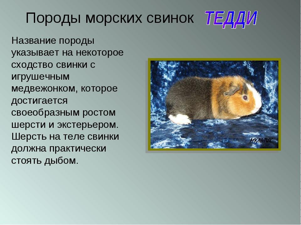 Породы морских свинок Название породы указывает на некоторое сходство свинки...