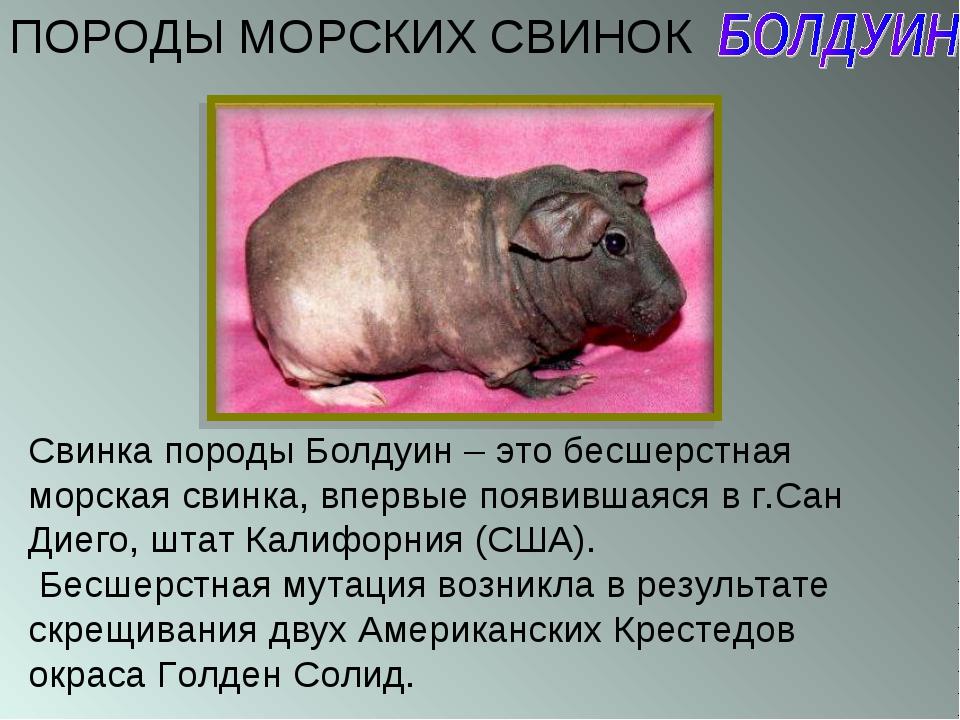 ПОРОДЫ МОРСКИХ СВИНОК Свинка породы Болдуин – это бесшерстная морская свинка,...