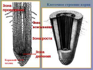 Корневой чехлик Зона деления Зона роста Зона всасывания Зона проведения Клето