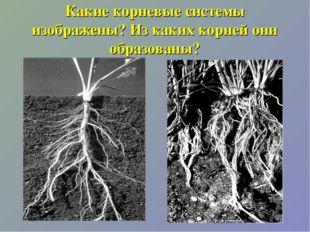 Какие корневые системы изображены? Из каких корней они образованы?