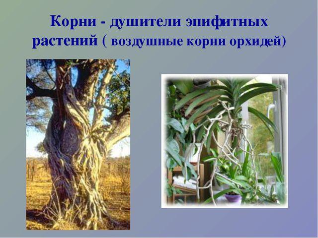 Корни - душители эпифитных растений ( воздушные корни орхидей)