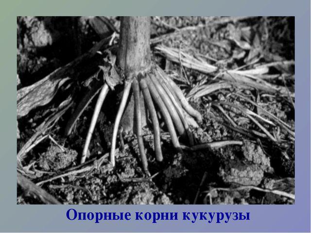 Опорные корни кукурузы