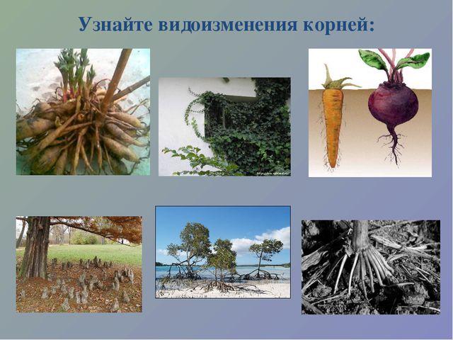 Узнайте видоизменения корней: