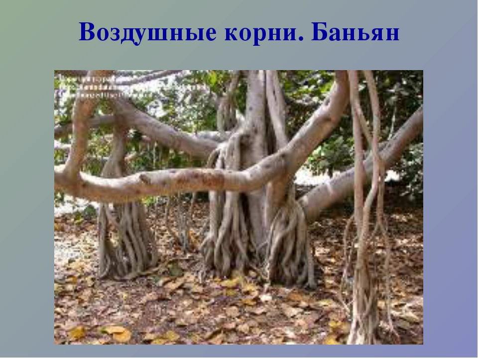 Воздушные корни. Баньян