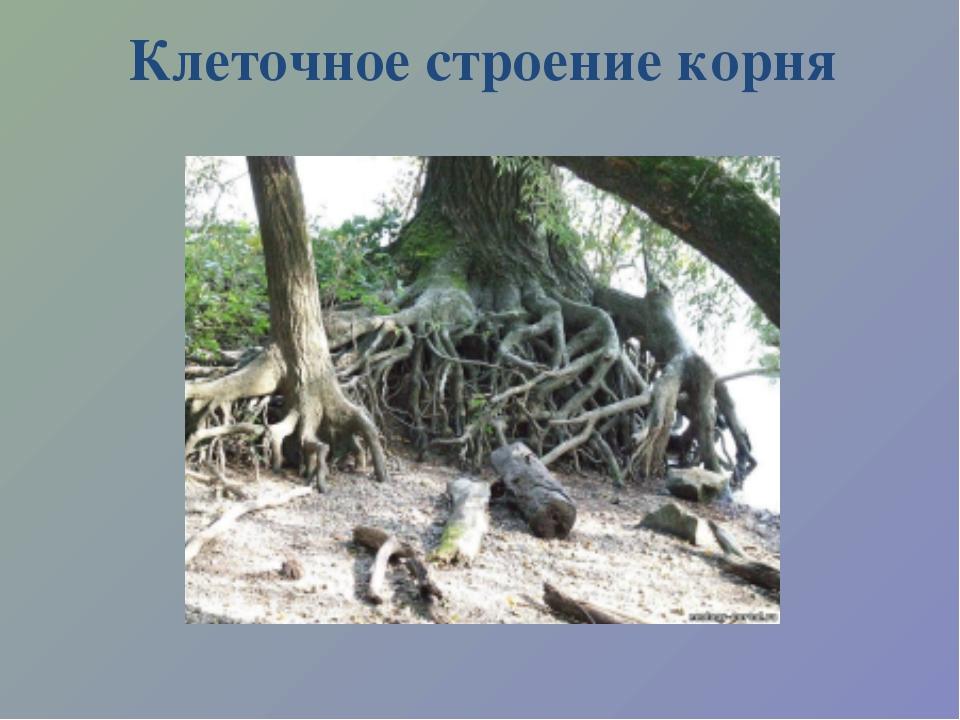 Клеточное строение корня