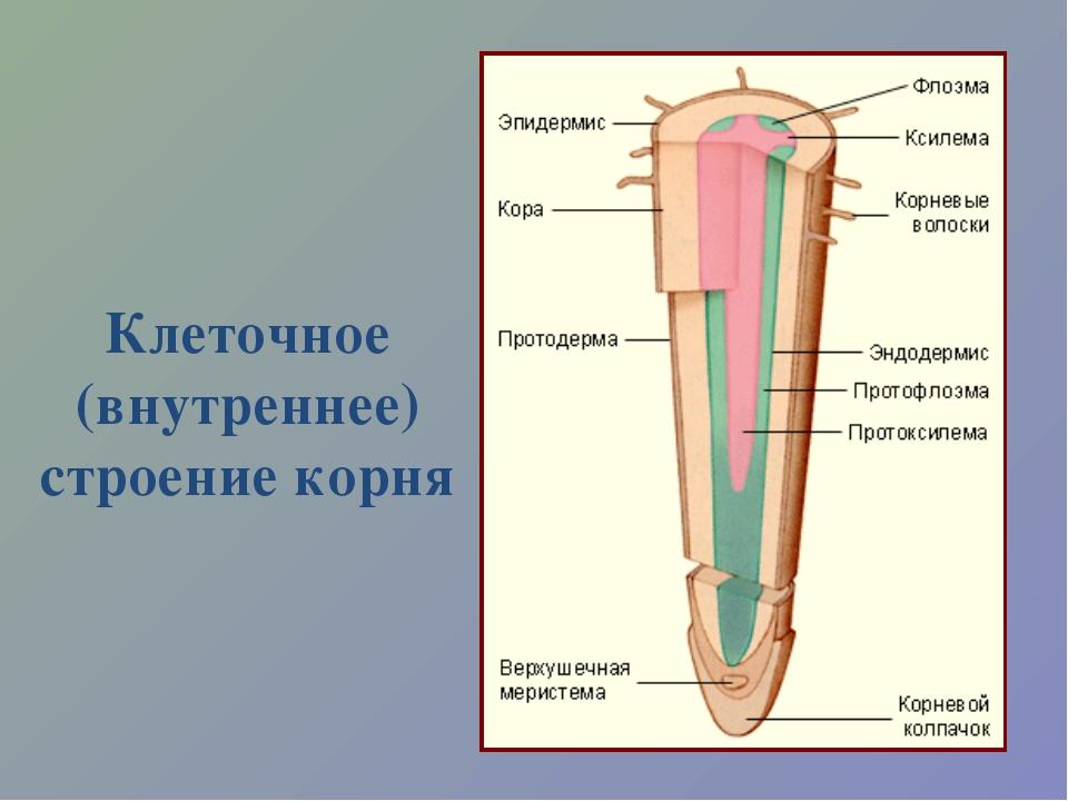 Клеточное (внутреннее) строение корня