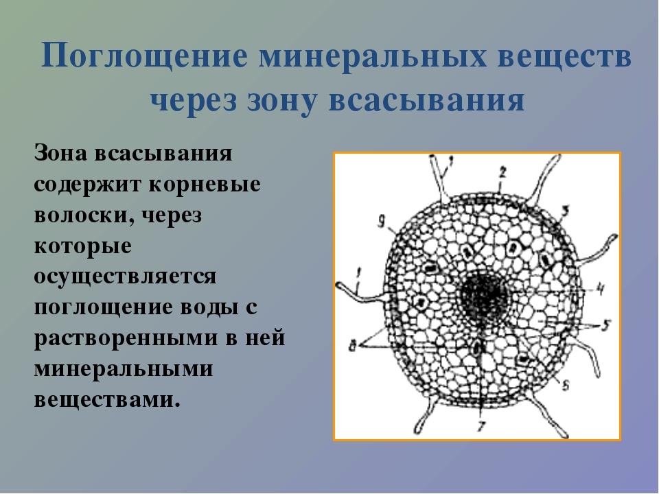 Поглощение минеральных веществ через зону всасывания Зона всасывания содержит...
