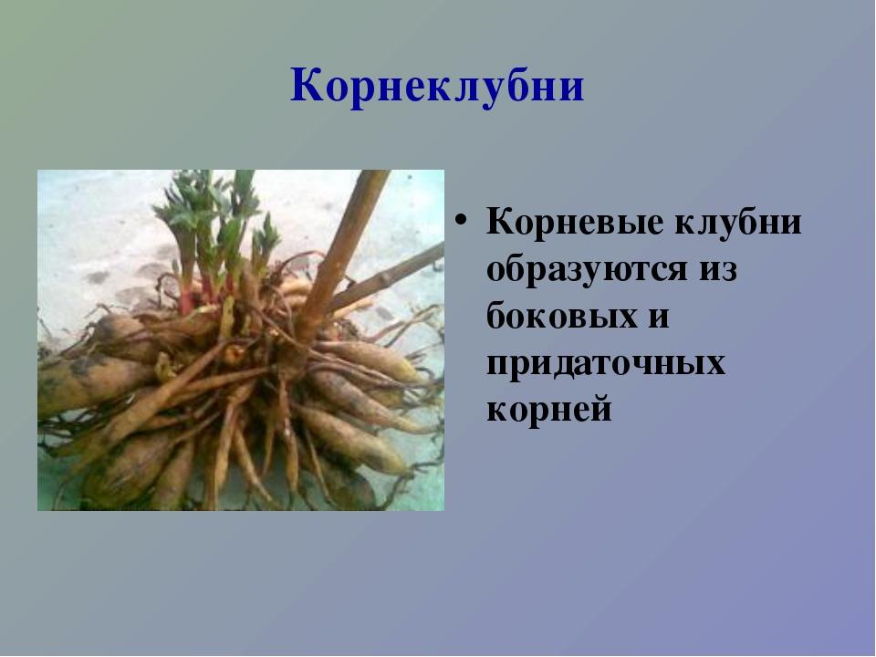 Корнеклубни Корневые клубни образуются из боковых и придаточных корней