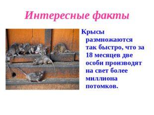 Интересные факты Крысы размножаются так быстро, что за 18 месяцев две особи п