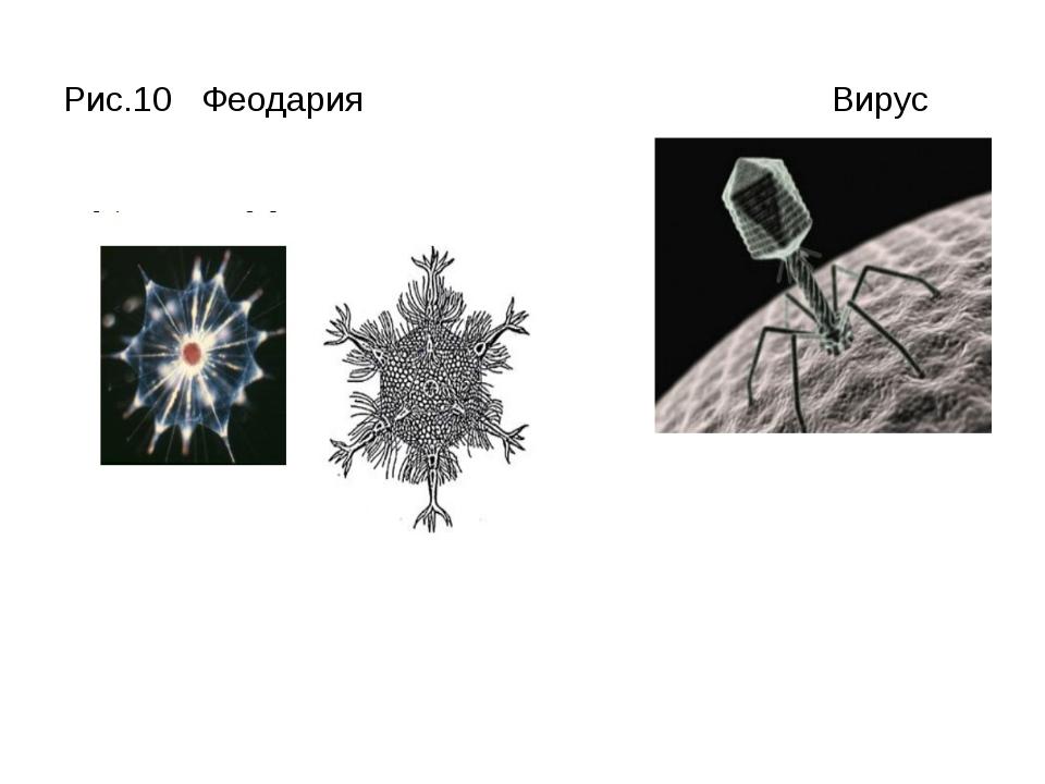 Рис.10 Феодария Вирус