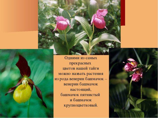 Одними из самых прекрасных цветов нашей тайги можно назвать растения из рода...