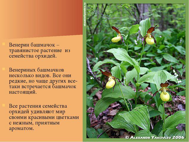 Венерин башмачок – травянистое растение из семейства орхидей. Венериных башма...