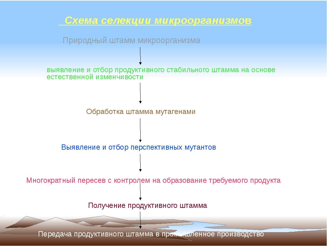 Схема селекции микроорганизмов Природный штамм микроорганизма выявление и от...