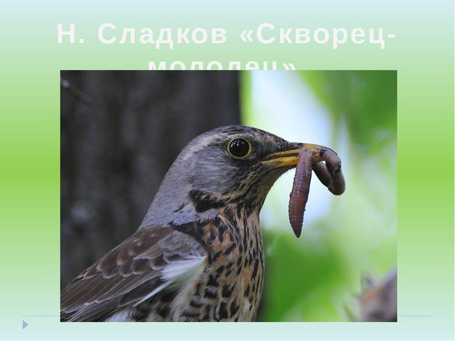 Н. Сладков «Скворец-молодец»