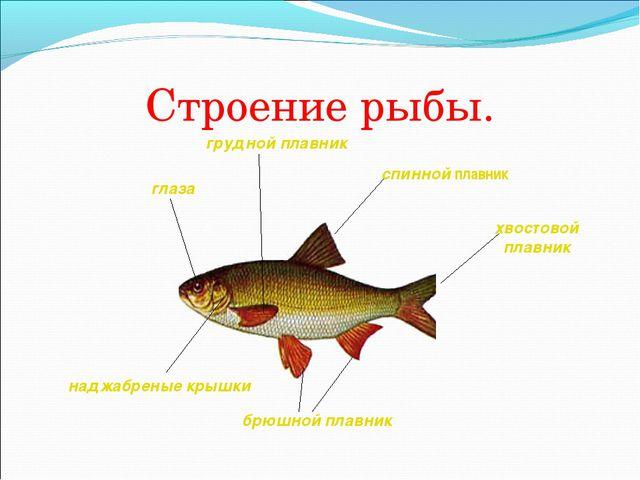 Строение рыбы.