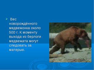Вес новорождённого медвежонка около 500 г. К моменту выхода из берлоги медве