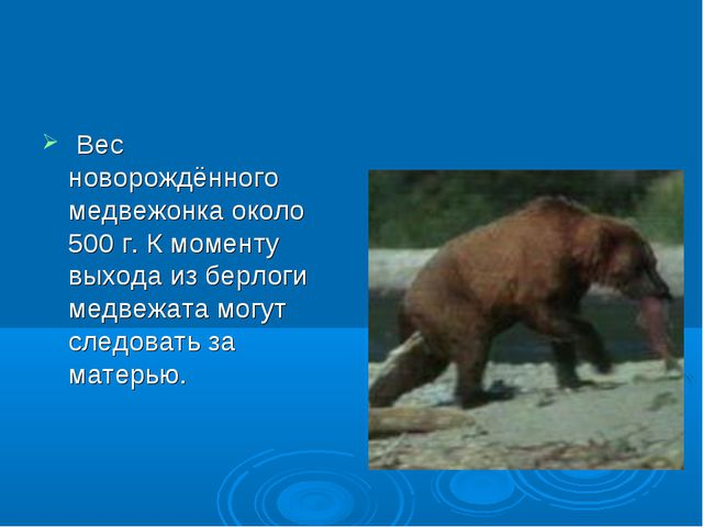 Вес новорождённого медвежонка около 500 г. К моменту выхода из берлоги медве...