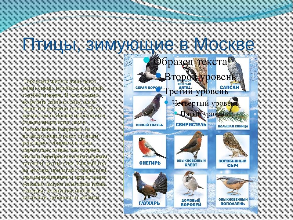 Птицы, зимующие в Москве Городской житель чаще всего видит синиц, воробьев, с...