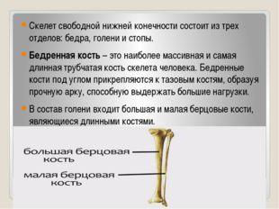 Скелет свободной нижней конечности состоит из трех отделов: бедра, голени и