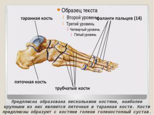 Предплюсна образована несколькими костями, наиболее крупными из них являются