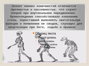 Скелет нижних конечностей отличается прочностью и массивностью, что служит о